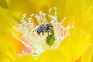 Blue-Eyed Bee
