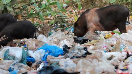 Pigs feeding in trash