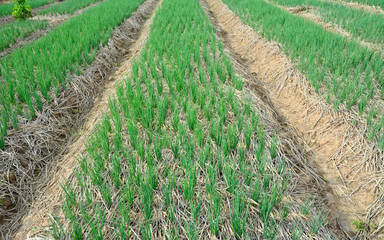 green  spring onions in field