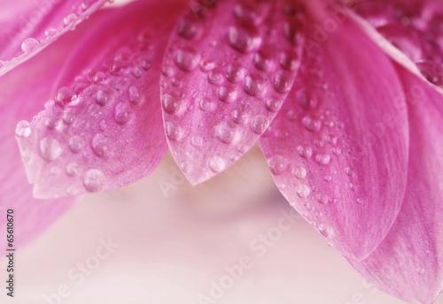 Krople rosy na różowych płatkach © Justyna Kaminska