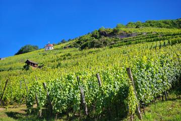 Vignoble de Thann , Alsace (Fr).