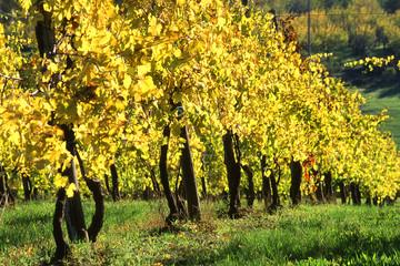 vitigni uva trebbiano castelvetro modena emilia romagna