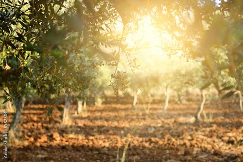 Aluminium Olijfboom Olive trees garden, mediterranean olive field ready for harvest.