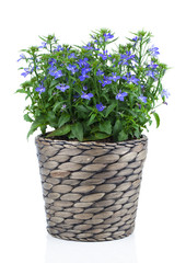 A sprig of blue lobelia in pot, on a white background.