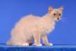 LaPerm Katze sitzend auf Blau