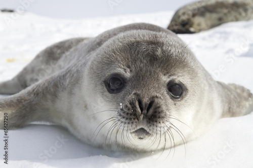 Tuinposter Luipaard Weddell seal pups on the ice of the Antarctic Peninsula 1