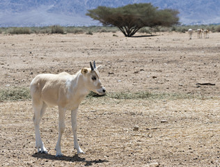 Baby of Antelope Addax in Nature reserve park near Eilat