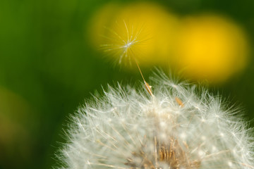 Dandelion close up.