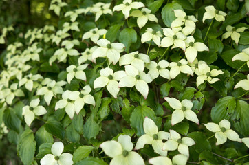 Dogwood in bloom.