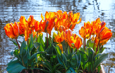 Multicolored tulips in spring park.