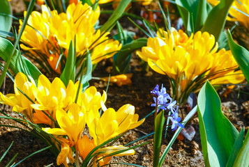 Spring yellow crocuses (macro)