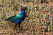 A Purple Glossy Starling (Lamprotornis purpureus) standing in a