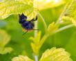Obrazy na płótnie, fototapety, zdjęcia, fotoobrazy drukowane : Bee on Lemon balm