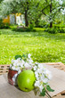 Green apple with a branch of a blossoming apple-tree. On a table