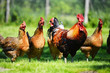 Chickens on traditional free range poultry farm - 65633060