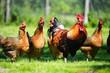 Leinwanddruck Bild - Chickens on traditional free range poultry farm