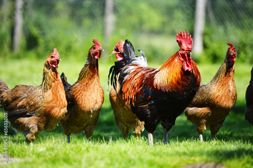 Fotobehang Kip Chickens on traditional free range poultry farm