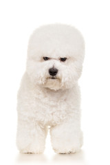 Bichon dog standing at white background