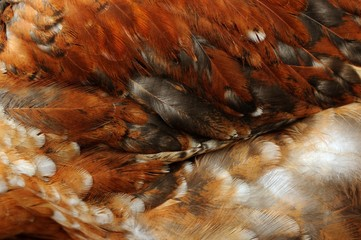 Chicken Feathers Close-Up