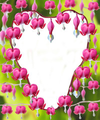 Heart shaped Dicentra Spectabilis flowers
