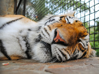 Sleeping Tiger Muzzle