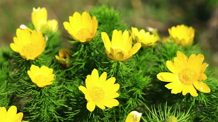 Beautiful yellow flowers of Adonis (Adonis vernalis)