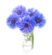 canvas print picture - Blue cornflower. Flower bouquet isolated on white.