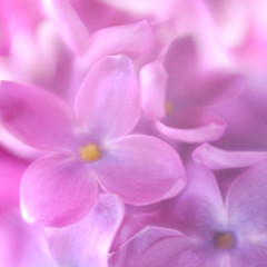 Soft focus lilac flower background. Made with lens-baby and macr