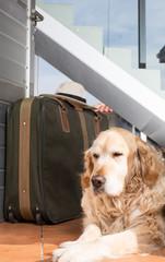 Golden Retriever travel departing