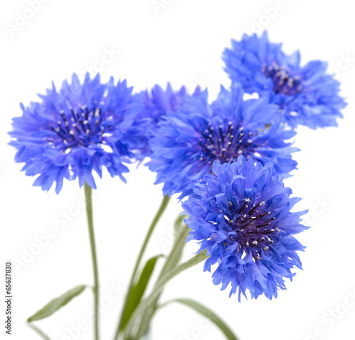 canvas print picture Blue cornflower. Flower bouquet isolated on white.