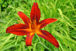 Hemerocallis 'Crimson Pirate'