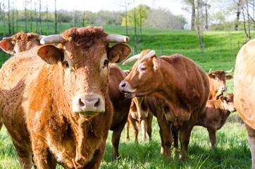 vache troupeau