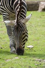 Zebra frisst