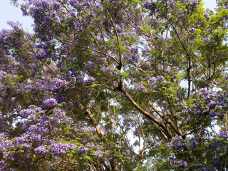 Blue Jacaranda in Spring, California