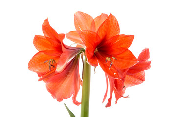 Blooming Amaryllis over a white background