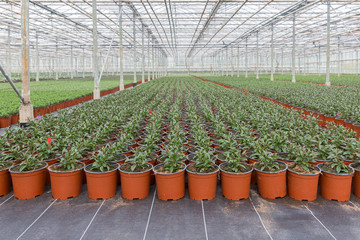 Cultivation of indoor plants in a Dutch greenhouse