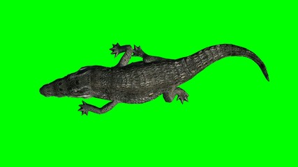 crocodile walking - green screen