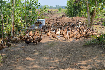 A free range duck farm
