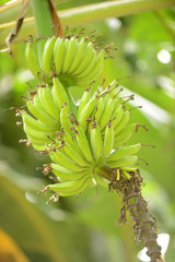 tropical banana tree in nature