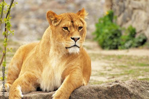 Papiers peints Lion Lioness.