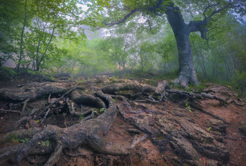 Tree with giant roots in the misty forest.