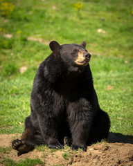 Large Eastern Black Bear Sitting Down in Field