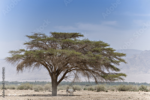 In de dag Antilope Antelope Addax in Israeli nature reserve near Eilat