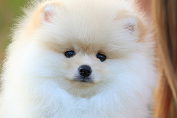 closeup face puppy pomeranian dog