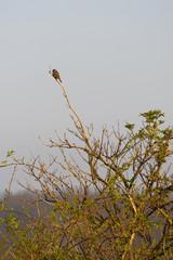 Sperling auf einem Ast beobachtet die Umgebung