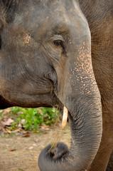 ivory of asia elephant