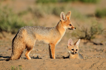 Cape foxes, Kalahadi desert