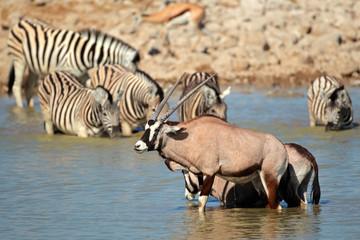 Gemsbok and zebra in water, Estosha National Park