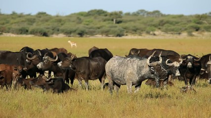 Mud covered African or Cape buffaloes resting in grassland