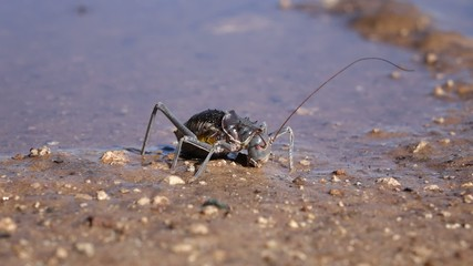An African Armoured ground cricket